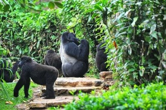 Kjong Uganda Safaris: Gorillas on Breakfast