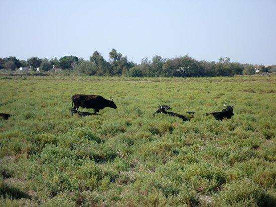 Ranch de la Brouzetière : Taureaux dans les manades