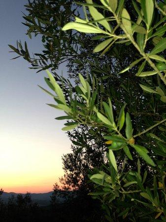 Residence Ramerino e Agriturismo Leccino: Olivetrees