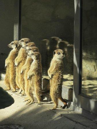 Krakow Zoo (Ogrod Zoologiczny) : Meerkats