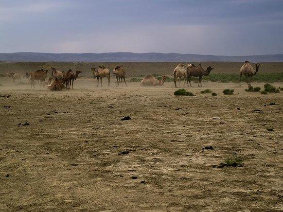 Kasachstan: camels