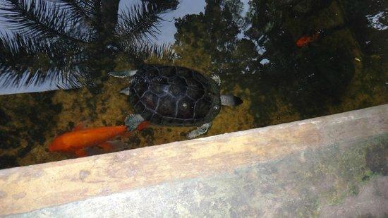 Hotel Banana Azul: turtle