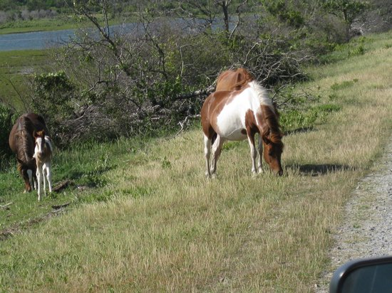 Chincoteague Natural History Association  Wildlife Tour : Small Group of Ponies