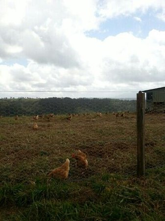 Mungalli Creek Organic Cafe: Happy Chickens