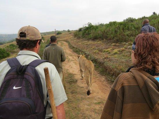 Botlierskop Private Game Reserve: Lions Walk