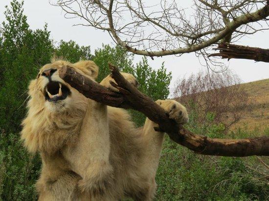 Botlierskop Private Game Reserve: König der Löwen