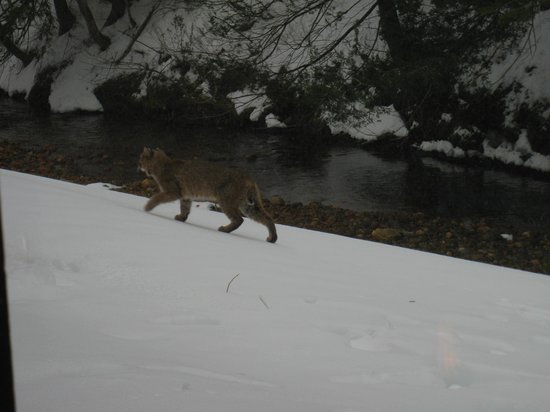 Cedarbrook: Bobcat