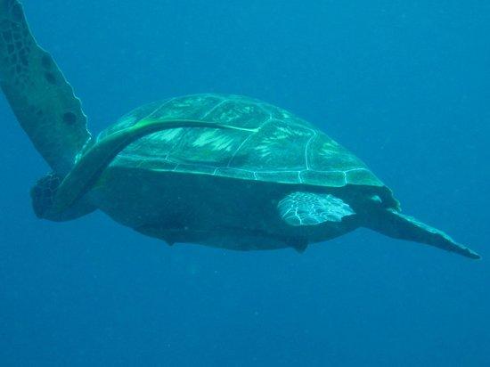Lumbalumba Diving: Green turtle