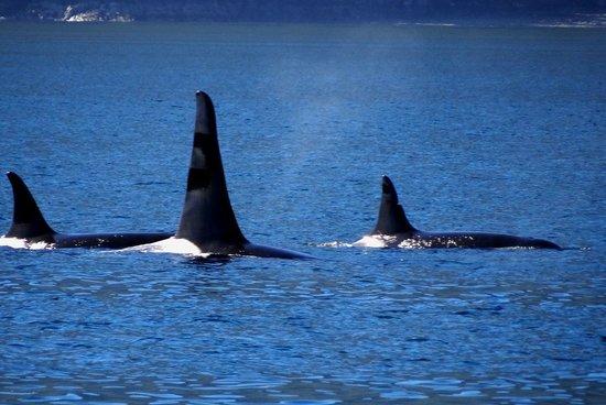 Seasmoke Whale Watching : Male orca