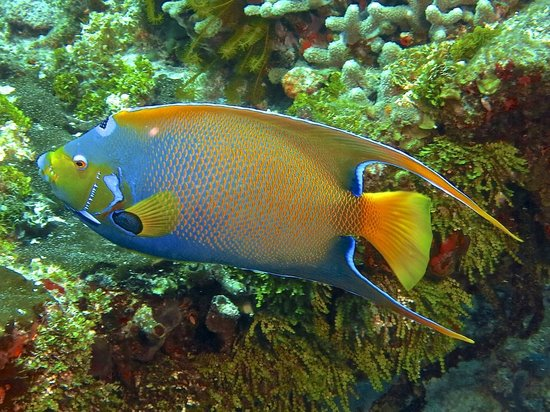 V.I.P. Divers: Gorgeous Queen Angelfish