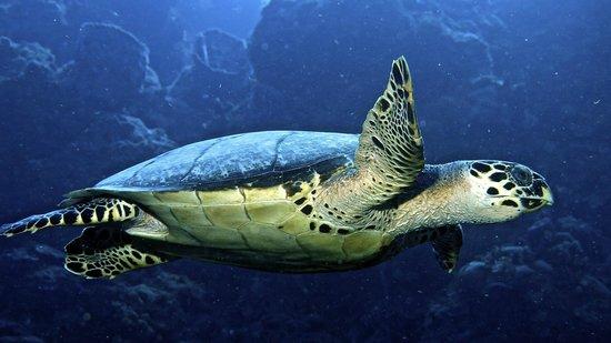 V.I.P. Divers: Lots of Turtles!
