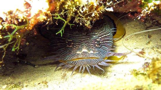 V.I.P. Divers: Splendid Toadfish found only in Cozumel