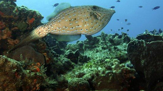 V.I.P. Divers: Very Large Scrawled Filefish