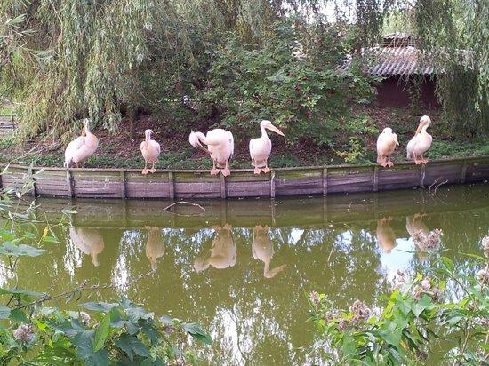 Vogelpark Niendorf: Pelikane in der Mittagspause