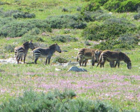Personal Cape Town Tours Day Tours: Zebras were plentiful