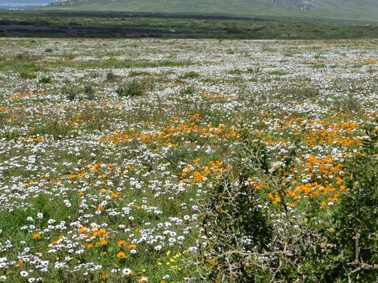 Personal Cape Town Tours Day Tours: A carpet of wildflowers