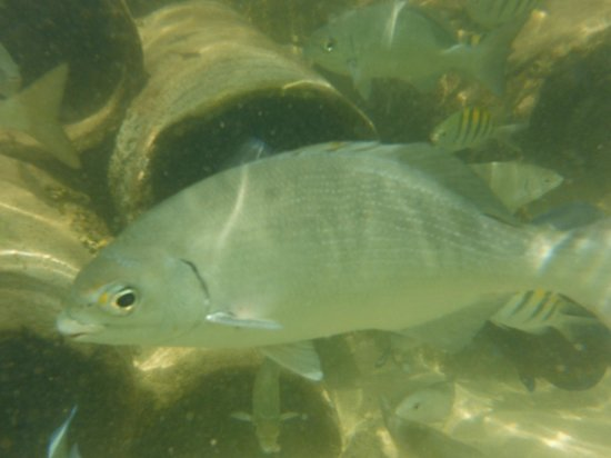 The lagoon lots of fish picture of catalonia yucatan for Kumak s fish