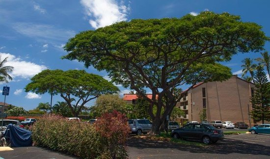 Maui Vista Resort: Pretty landscaping