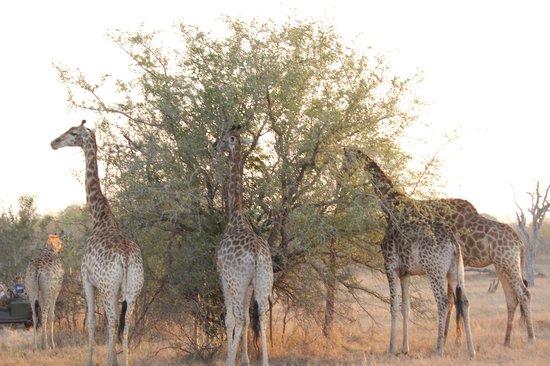 Umkumbe Safari Lodge: True Longnecks