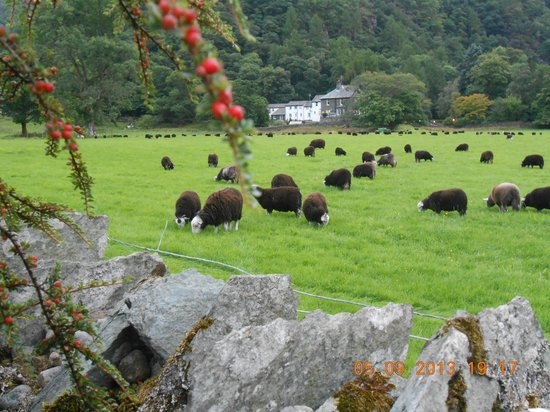 Leathes Cottage: Herdwick Lambs enjoying  an evening snack.