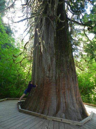 Mount Rainier National Park, วอชิงตัน: A Cedar Patriarch