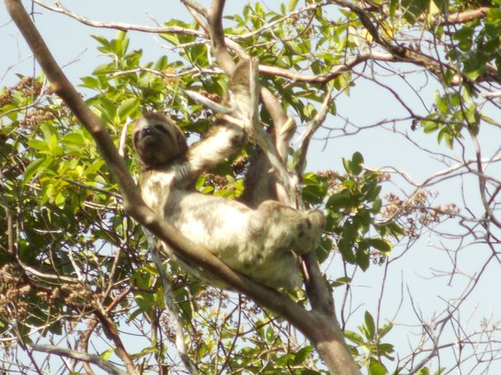 Amazon Refuge: Sloth (one of several)