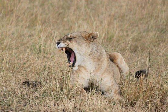 Go Kenya Tours and Safaris: Lion
