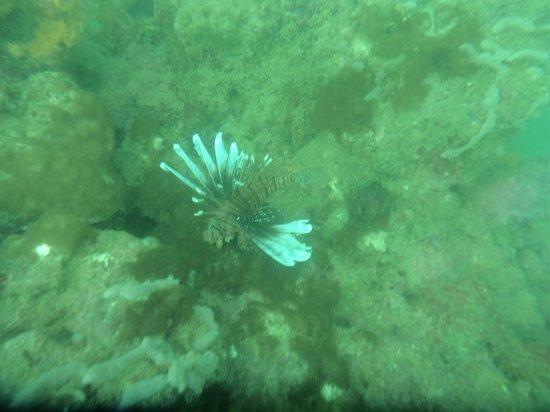 Punta Uva Dive Center: Pez leon 10 mt