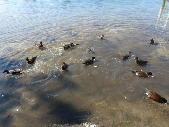 Jervis Bay Caravan Park : feeding the ducks from the veranda