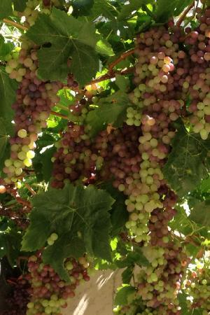 Solvang Taxi and Wine Tours: Getting close to harvest time!