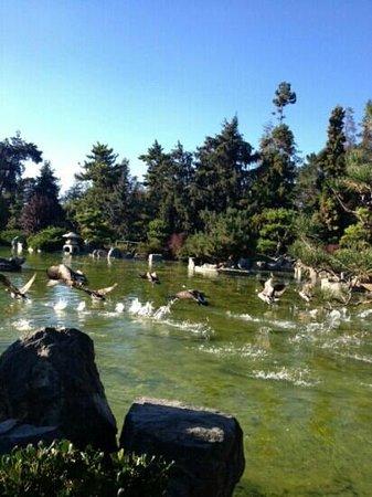 Japanese Friendship Garden: duckys