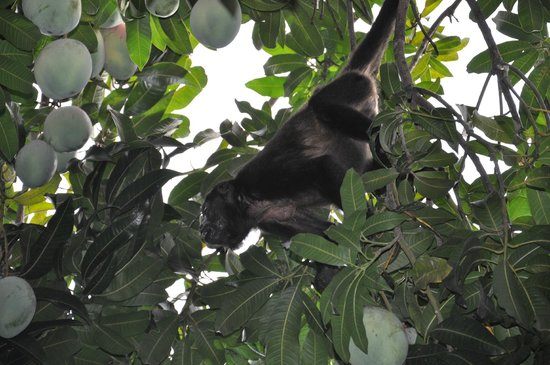 The Great Waltini's: Howler monkeys in the mango tree on the grounds of Waltini's!!