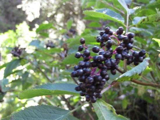 Many Glacier Lodge: Elderberries on the Trail to Grinnell Lake