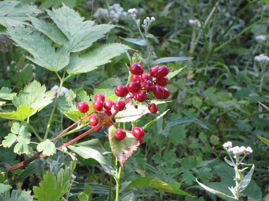 Many Glacier Lodge: Berries that are poision on trail to Grinnell Lake