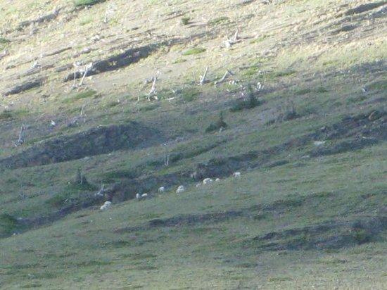 Mountain Goats on Hillside by Many Glacier Lodge