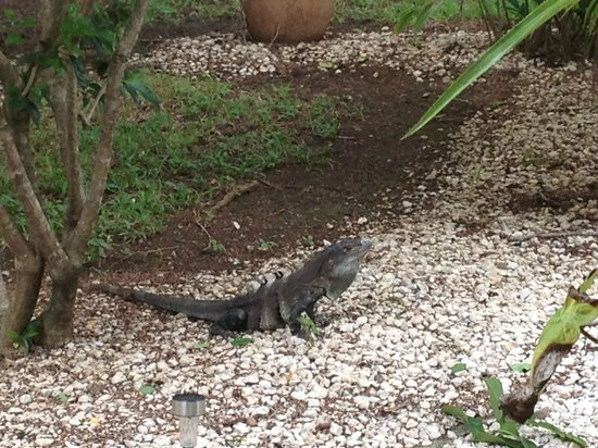 Hotel Bula Bula: One of the lizards around the grounds