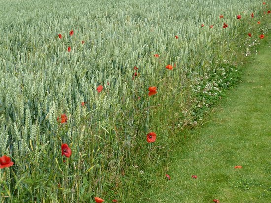 The Battlefields Experience: Poppies in the fields of the Somme.