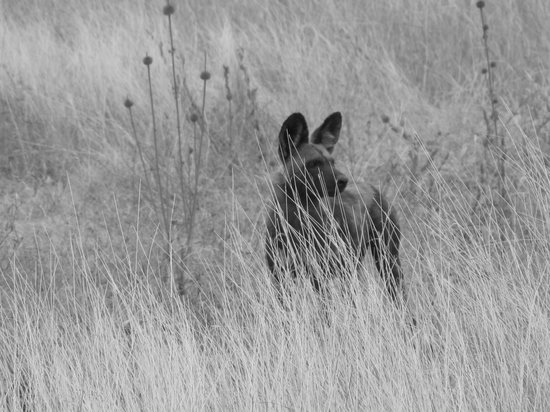 Manyara Ranch Conservancy: Wild dogs passing through
