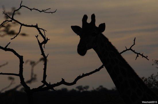 Naledi Bushcamp and Enkoveni Camp: Giraffe in the evening