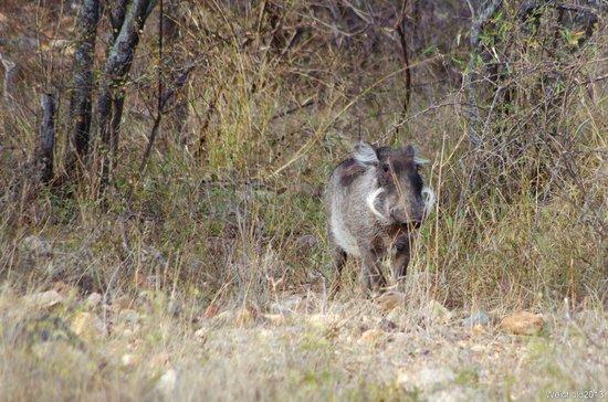 Naledi Bushcamp and Enkoveni Camp: Juvenile female warthog