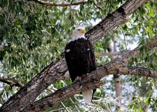 Lewis & Clark River Expeditions: Bald Eagle while rafting Snake River