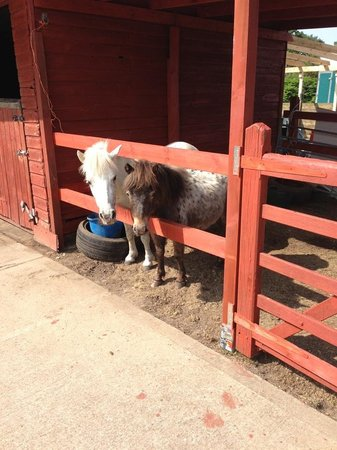 Burley, UK: The cute Shetland ponies