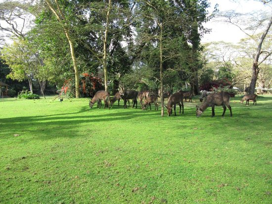 Lake Naivasha Country Club-Sun Africa Hotels: water buck grazing in the grounds