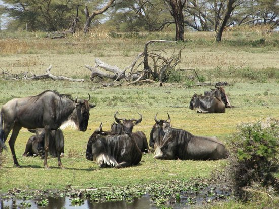 Lake Naivasha Country Club-Sun Africa Hotels: wildebeest on nearby Crescent Island