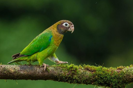 La Laguna del Lagarto Lodge: brown hooded parrot