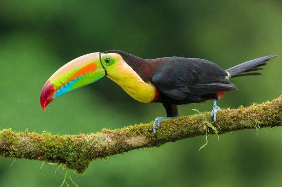 La Laguna del Lagarto Lodge: keel billed toucan