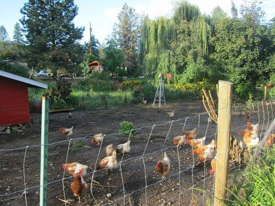 Canyon Farms RV Park : free range chickens = fresh eggs