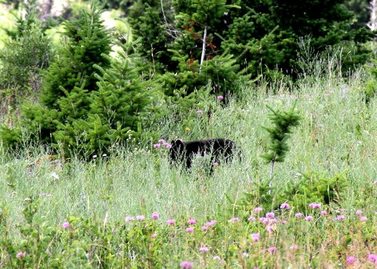Waterton Glacier Suites: Baby Black Bear in the Grass
