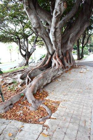 Lungomare Falcomata: Ficus Magnolioides, albero di grandi dimensioni, maestoso, dalle radici ramificate. Sul lungomar