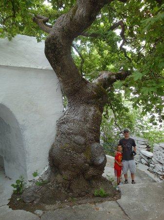 Ag Trianda: Big tree!